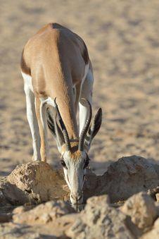 Free Springbok Royalty Free Stock Photo - 30200215
