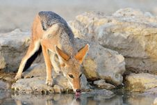 Free Jackal Drinking Royalty Free Stock Photos - 30200568