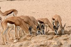 Free Springbok Drinking Royalty Free Stock Image - 30201266