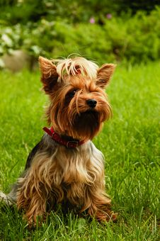Free Yorkshire Terrier Royalty Free Stock Photography - 30202327