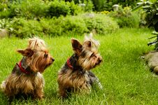 Free Yorkshire Terrier Stock Image - 30202411
