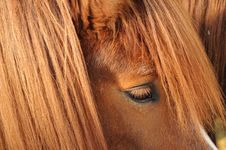 Free The Eye Of An Icelandic Horse Royalty Free Stock Photography - 30218267
