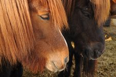 Free Icelandic Horses Royalty Free Stock Photo - 30219205