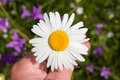 Free White Chamomile In Hand Royalty Free Stock Photography - 30223137