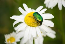 Free Green Beetle On Camomile Royalty Free Stock Photo - 30223155
