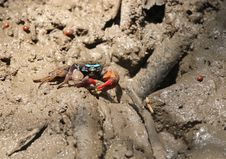 Free Fiddler Crab Stock Photography - 30231662