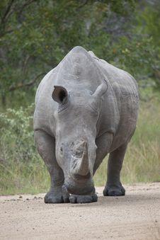 White Rhino Bull Standing Royalty Free Stock Photography