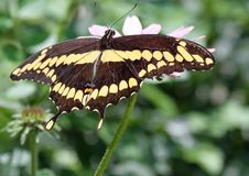Free Butterfly Royalty Free Stock Photo - 30233305