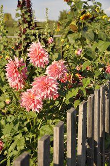 Free Dahlia In The Garden. Stock Photography - 30234812