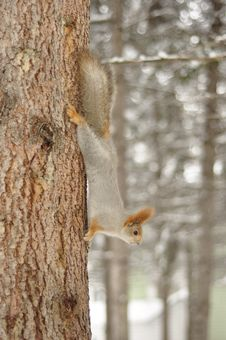 Free Squirrel On A Tree Trunk. Stock Photos - 30234963