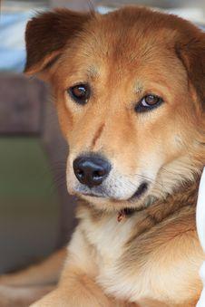 Thai Dog Looking At The Camera Stock Photos