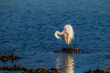 Free Lovely White Egret At Dawn Stock Photos - 30237993