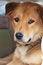 Free Thai Dog Looking At The Camera Stock Photos - 30235953