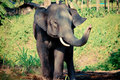 Free Thai Elephant Royalty Free Stock Images - 30240319