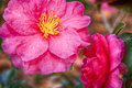 Free Camellia Flower Royalty Free Stock Image - 30240926