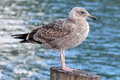 Free Seagull Stock Image - 30242651