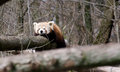 Free Red Panda Stock Photos - 30243543