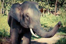 Free Thai Elephant Royalty Free Stock Photo - 30240755