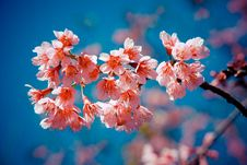 Free Thai Sakura Stock Photo - 30241000