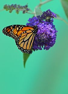 Free Butterfly Royalty Free Stock Photos - 30242258