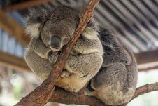 Free Sleepy Koala Bear From Zoo In Sydney, Australia. Stock Photos - 30242363