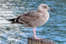 Free Seagull Stock Image - 30242651