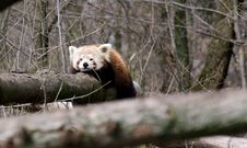 Free Red Panda Stock Photos - 30243543