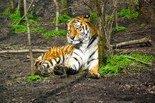 Free Tiger Royalty Free Stock Photos - 30243668