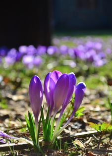 Free Group Of Crocuses Royalty Free Stock Photos - 30247138