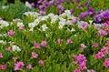 Free Petunia Blossom Stock Photos - 30256393