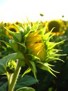 Free Eautiful Green Sunflower In The Field Royalty Free Stock Photo - 30259605