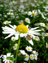 Free Little Beetle On The White Beautiful Chamomile Stock Photography - 30259732