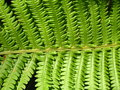Free Fine Pattern From Leaves Of Fern Royalty Free Stock Image - 30259816