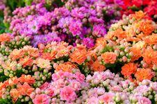 Free Flaming Katy Flower Stock Image - 30256071