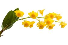 Free Fried Egg Orchid Stock Photography - 30256072
