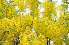 Free Cassia Fistula Flower Royalty Free Stock Photos - 30256098