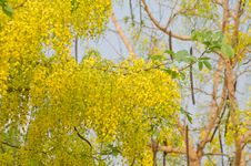 Free Cassia Fistula Flower Stock Images - 30256114