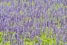 Free Salvia Pratensis Royalty Free Stock Photography - 30256297