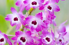 Pink Dendrobium  Orchid Stock Photography