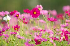 Free Cosmos Flowers Stock Photography - 30256372