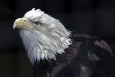 Free American Eagle Royalty Free Stock Photo - 30257025
