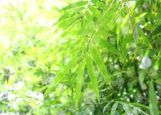 Free Bamboo Leaves Stock Photos - 30259013
