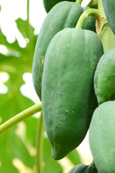 Green Papayas. Royalty Free Stock Images