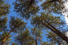 Free Pinus On Blue Sky Royalty Free Stock Photo - 30259885