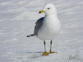 Free Seagull Strutting On Snow Royalty Free Stock Photo - 30262235