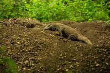 Free Giant Lizard Close On Komodo Island, Indonesia Stock Images - 30262284