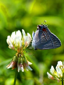 Eastern Blue Tailed Butterfly On Clover Royalty Free Stock Photo
