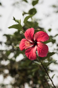 Free Hibiscus Royalty Free Stock Images - 30266279