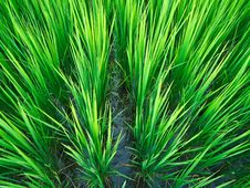 Free Paddy Rice In Field Royalty Free Stock Photography - 30267777