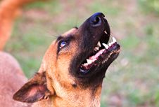 Free Closeup Of Dog S Head, Shot From Below With Shallow DOF Royalty Free Stock Photo - 30268445
